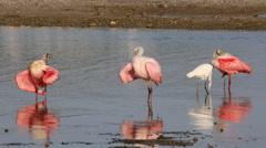 Roseate Spoonbills wading birds Stock Footage