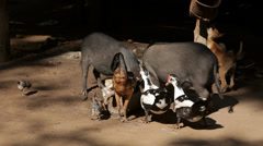 Pigs, Chickens and Ducks in Burma Stock Footage
