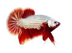 Siamese fighting fish , betta isolated on white background Stock Photos