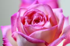 Close up pink fresh rose Stock Photos