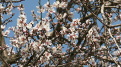 4K Blossoming Spring Almond Tree 14 Stock Footage