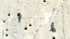Blue-tailed bee-eater made hole nesting Stock Footage