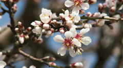 4K Blossoming Spring Almond Tree 15 Stock Footage