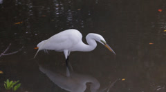 Great White Egret feeding on small fish Stock Footage