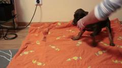 Defenseless little Doberman puppy Stock Footage