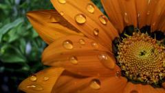 Droplets on Orange Flower - stock footage