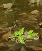 Green leaves of ash tree, autumn colors in mountain stream. - stock photo