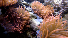 Clownfish with eggs and bubble tip anemones Stock Footage