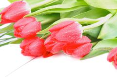 magenta tulips - stock photo