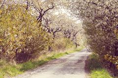 road with alley of cherry trees in bloom - stock photo