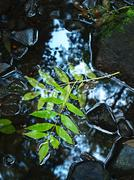 Green leaves of ash tree, autumn colors in mountain stream. Clear water - stock photo