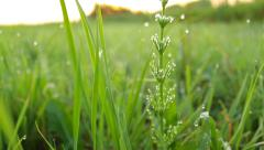 Grass in the meadow, fresh atmosphere, close-up, dew drops, camera moving up - stock footage