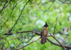 red-whiskered bulbul - stock photo