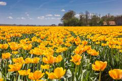 Stock Photo of field of orange and yellow tulips and a farm