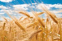 gold wheat - stock photo