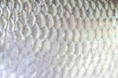 The fish scale close up. Stock Photos