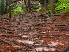 Footpath in the forest covered by bare spruce roots. - stock photo