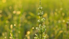 Grass in the meadow in the morning close-up, dew drops, flare Stock Footage