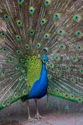 Portrait of beautiful peacock with feathers out Stock Photos