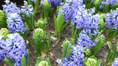 Flowering and budding Multiflora Hyacinths Blue planted neatly on soil Stock Footage