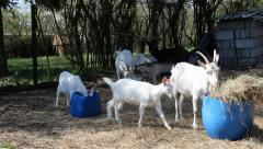 Goats bred for meat and milk - small agricultural farm Stock Footage
