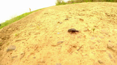 Black beetle Meloe proscarabaeus, several frames in one Stock Footage
