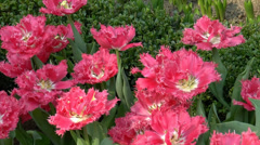 4k Ultra HD video of full-bloomed pink jagged edge tulip - stock footage