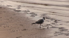 Seagull stomping in the wet sand on a beach Stock Footage