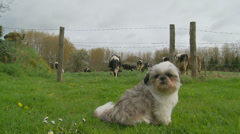 Sweet dog with cows in background - dolly Stock Footage