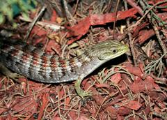 Alligator Lizard - stock photo