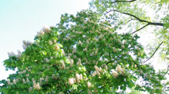 Blooming chestnut tree Stock Footage