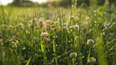 White clovers in the meadow, dew drops, close-up, static, relaxing Stock Footage