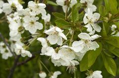 Pear tree blossoms closeup - stock photo