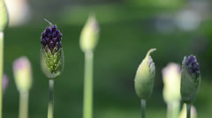 Group of unexpanded garlic flower buds with dew drops Stock Footage