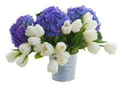white tulips and blue hortensia flowers - stock photo