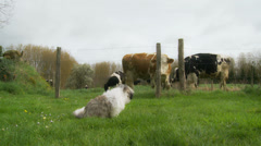 Little dog watches cattle in field (dolly zoom) Stock Footage