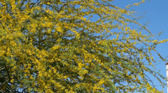 Flowering Palo Verde Tree (Parkinsonia microphylla). Phoenix. Arizona, USA. Stock Footage