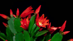Red easter cactus flower closing timelapse 4k Stock Footage
