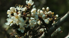 4K Blossoming Spring Trees 6 Stock Footage