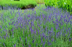 Garden with the flourishing lavender in france Stock Photos