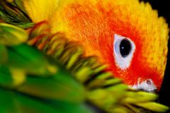 Sun Conure - stock photo