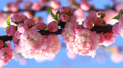 Blossom Pink Sakura Tree Stock Footage