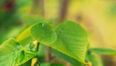 Panning close-up shot of green fresh leaves - stock footage