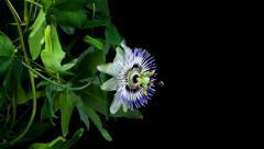 Passiflora flower blooming timelapse in 4k Stock Footage
