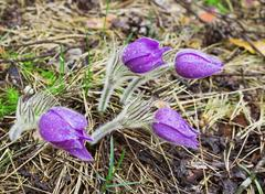 four pasque-flower during rain. april - stock photo