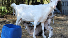 Young goat is drinking mother's milk Stock Footage