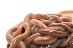 Earthworms on a white background. macro Stock Photos