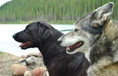Stock Photo of Husky and Labrador. head close up. background