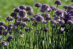 Herb flowers Stock Photos