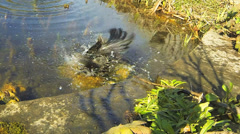 A closeup view of a Common Grackle, Quiscalus quiscula, bathing Stock Footage